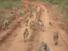 Babboons on road to Lamu