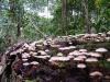 Bali Mushrooms