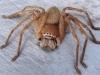 Huntsman spider, Mauritius